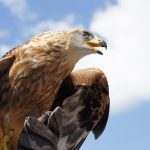 golden-eagle-818809_1920