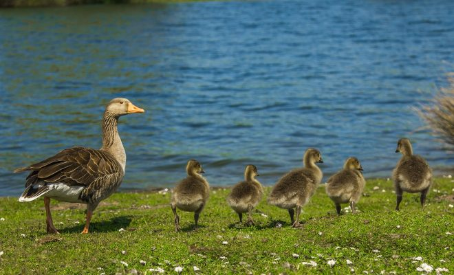 geese-1407208_1920