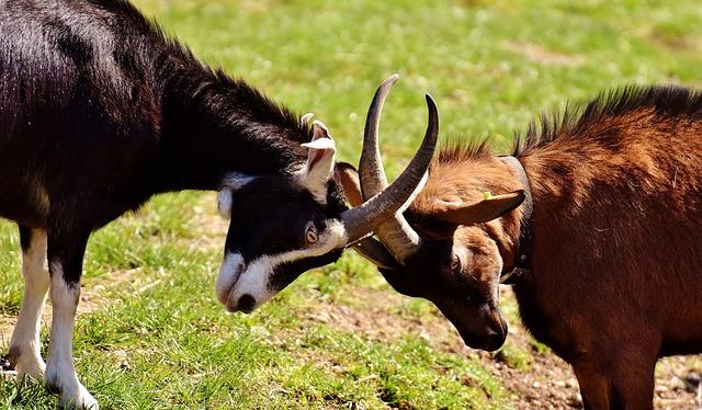goats-2189621_640