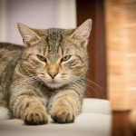 domestic-cat-726989_640